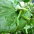 2011-0806-花園裡的螳螂 (10).jpg