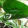 2011-0806-花園裡的螳螂 (11).jpg