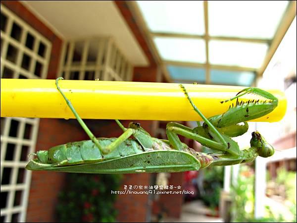 2011-0806-花園裡的螳螂 (12).jpg