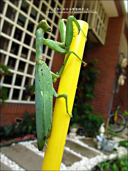 2011-0806-花園裡的螳螂 (13).jpg