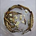 2011-0802-昆蟲課-昆蟲老師-吳沁婕 (23).jpg