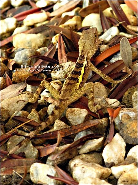 2011-0822-躲在羅漢松樹下的蜥蝪.jpg