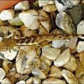 2011-0822-躲在羅漢松樹下的蜥蝪 (1).jpg
