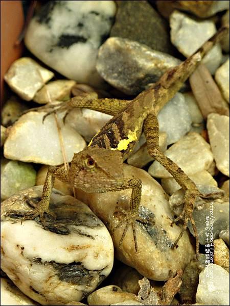 2011-0822-躲在羅漢松樹下的蜥蝪 (2).jpg