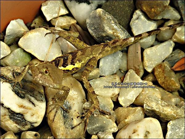 2011-0822-躲在羅漢松樹下的蜥蝪 (3).jpg