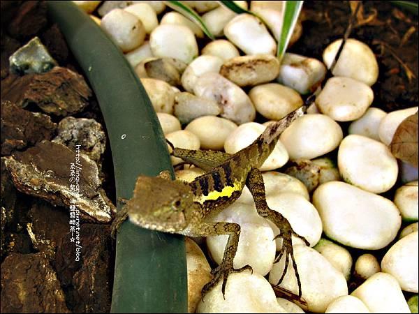 2011-0822-躲在羅漢松樹下的蜥蝪 (5).jpg