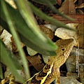 2011-0822-躲在羅漢松樹下的蜥蝪 (8).jpg