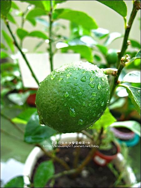 2011-0806-樓上花園有毛毛蟲 (5).jpg