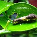 2011-0806-樓上花園有毛毛蟲 (11).jpg