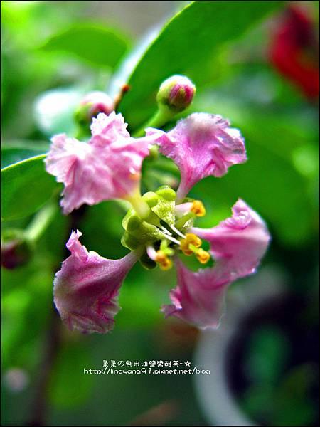 2011-0806-樓上花園的西印度櫻桃花 (10).jpg
