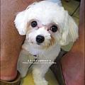 2010-1009-婆婆家養的狗-妮妮.jpg