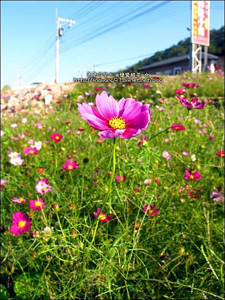 2011-1204-新埔-大蒜餃子館-波斯菊花 (3).jpg