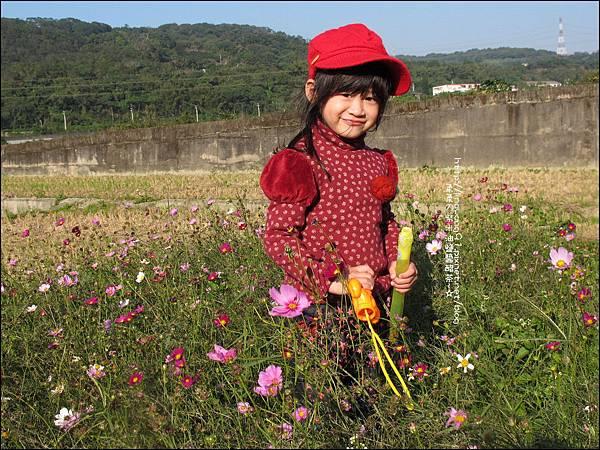 2011-1204-新埔-大蒜餃子館-波斯菊花 (6).jpg