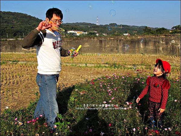 2011-1204-新埔-大蒜餃子館-波斯菊花 (21).jpg