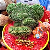2012-0118-聖誕節-過年佈置-多肉植物 (5).jpg