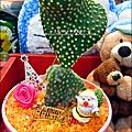 2012-0118-聖誕節-過年佈置-多肉植物 (6).jpg