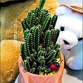 2012-0118-聖誕節-過年佈置-多肉植物 (8).jpg