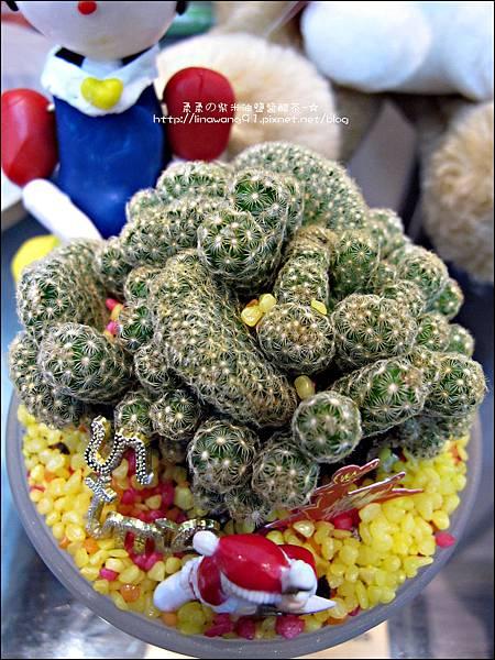 2012-0118-聖誕節-過年佈置-多肉植物 (10).jpg