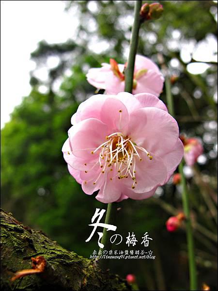 2012-0128 -清大梅園 (4).jpg