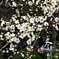2012-0128 -清大梅園 (12).jpg