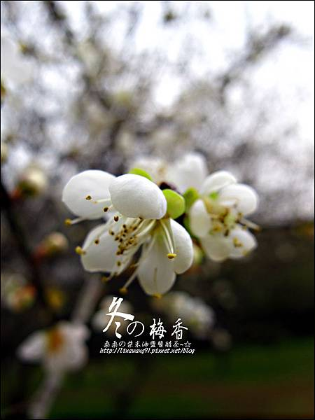 2012-0128 -清大梅園 (17).jpg