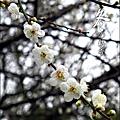 2012-0128 -清大梅園 (19).jpg