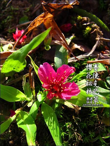2012-0212-桃園-桃源仙谷-賽德克巴萊的櫻花秘林 (11).jpg