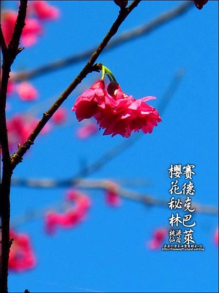 2012-0212-桃園-桃源仙谷-賽德克巴萊的櫻花秘林 (13).jpg