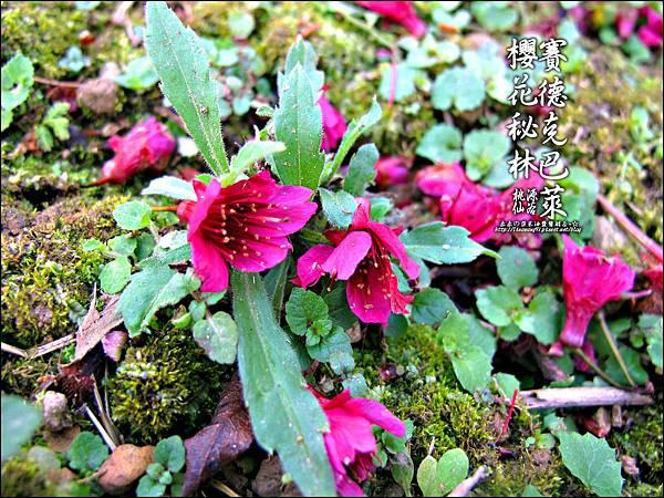 2012-0212-桃園-桃源仙谷-賽德克巴萊的櫻花秘林 (29).jpg