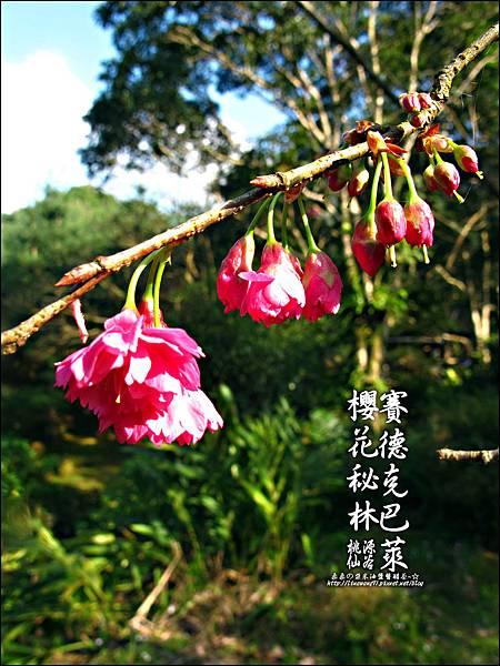 2012-0212-桃園-桃源仙谷-賽德克巴萊的櫻花秘林 (30).jpg