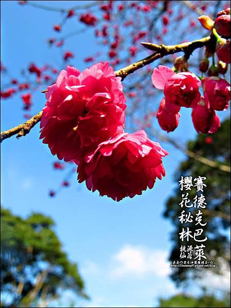 2012-0212-桃園-桃源仙谷-賽德克巴萊的櫻花秘林 (32).jpg