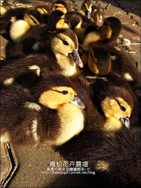2011-1122-桃園-青松花卉農場 (34)