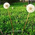2012-0301-新竹麗池-蒲公英 (7)