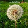 2012-0301-新竹麗池-蒲公英 (15)