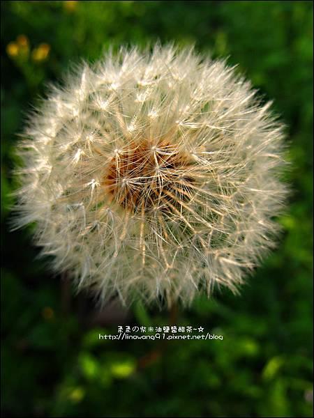 2012-0301-新竹麗池-蒲公英 (20)