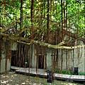 2011-0917-英商德記洋行-台南安平樹屋 (5)