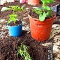 2012-0528-天一開心菜園-DIY蔬菜盆栽 (13)