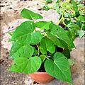 2012-0528-天一開心菜園-DIY蔬菜盆栽 (18)
