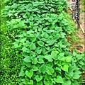 2012-0528-天一開心菜園-假日農夫體驗營 (11)