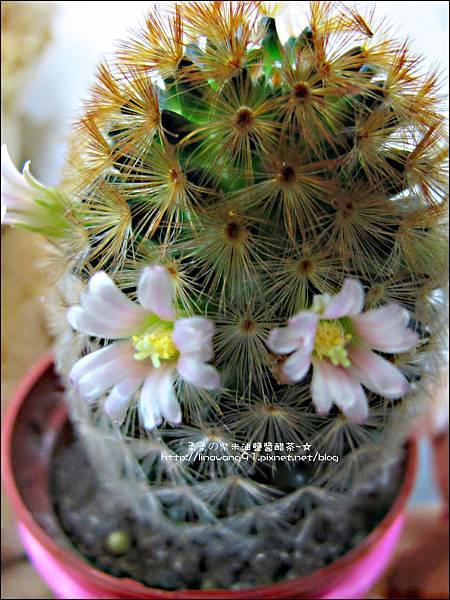 2012-0405 -仙人掌開花