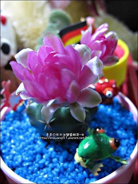 2012-0425-仙人掌開花-翠晃冠 (1)