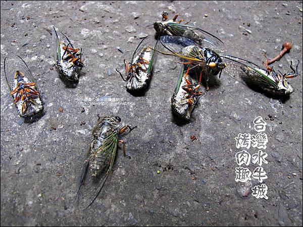 2012-0629-苗栗後龍-台灣水牛城-玩水烤肉 (1)