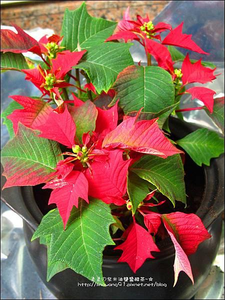 2012-1218-聖誕紅組合盆栽 (2)