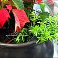 2012-1218-聖誕紅組合盆栽 (3)
