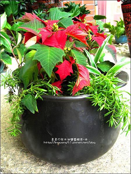 2012-1218-聖誕紅組合盆栽 (4)