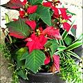 2012-1218-聖誕紅組合盆栽 (5)