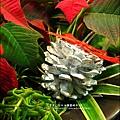 2012-1218-聖誕紅組合盆栽 (7)