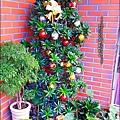 2012-1218-聖誕紅組合盆栽 (12)
