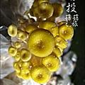 2012-0420-豐年靈芝菇類生態農場 (25)