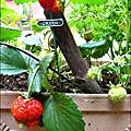 2013-0309-在家DIY種草莓